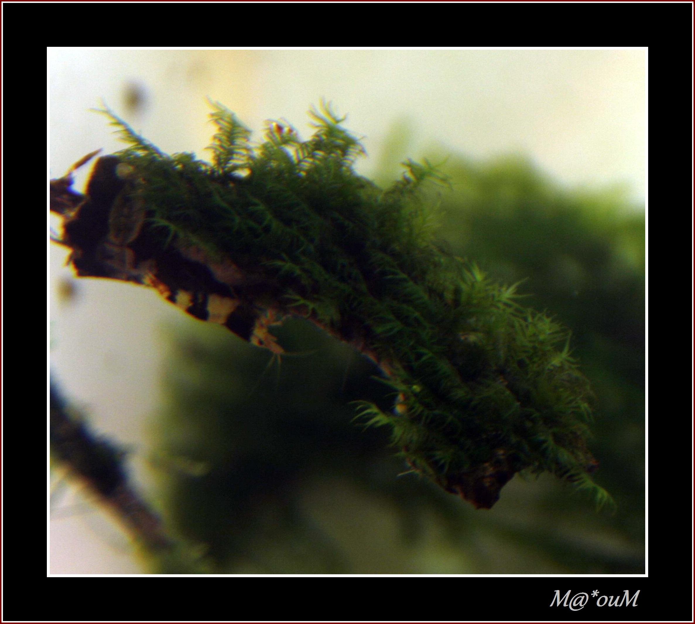 Fan de mousses aquatiques [Liste et photos] - Page 2 _MG_0957_GF