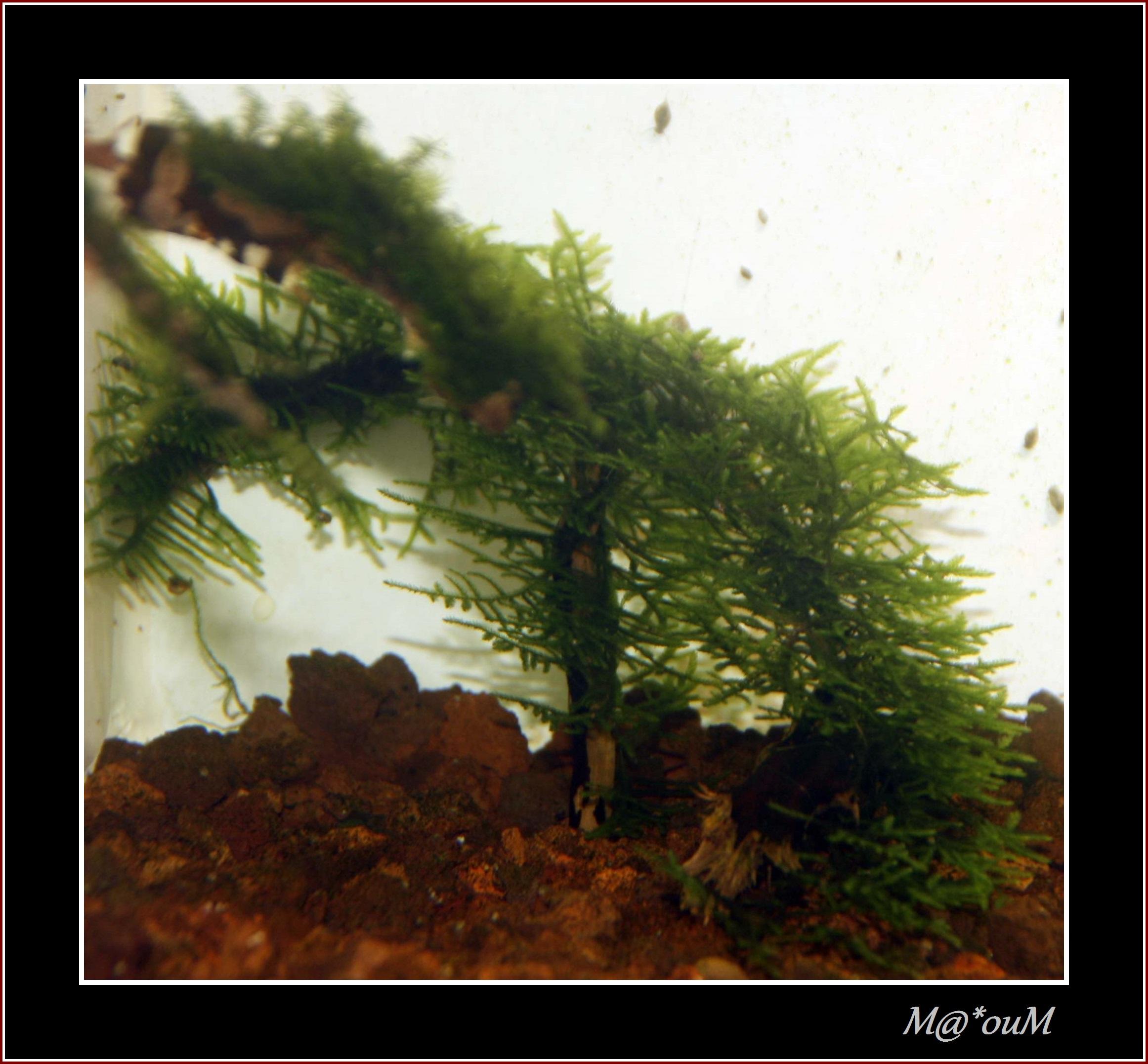 Fan de mousses aquatiques [Liste et photos] - Page 2 _MG_0962_GF