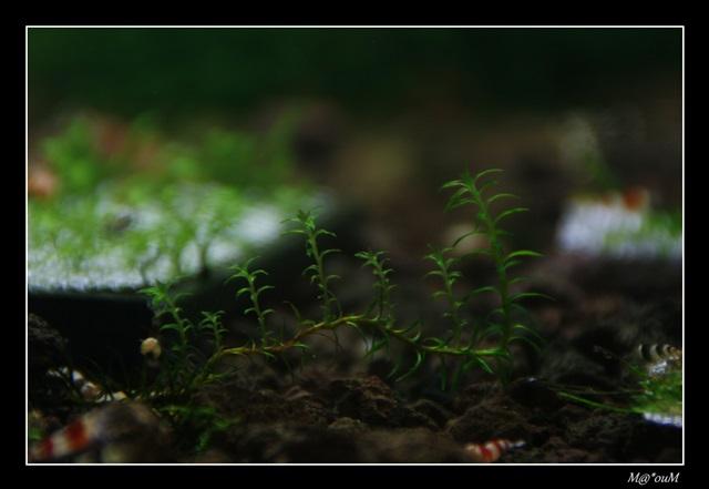 Fan de mousses aquatiques [Liste et photos] - Page 2 _MG_9185_GF