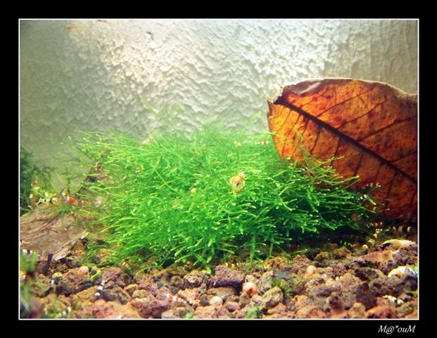 Fan de mousses aquatiques [Liste et photos] - Page 2 100_1057_GF